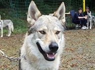 兇猛霸氣的捷克狼犬圖片