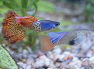 蓝绸孔雀鱼自由畅游图片