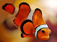 表情憂傷的紅色小丑魚圖片