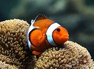 澳洲小丑魚圖片高清特寫