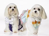 精心打扮的純種西施犬圖片
