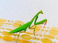 螳螂虫豸高清特写图片