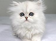 白色小波斯猫图片大全可爱