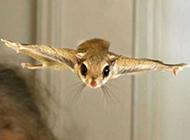 小飞鼠飞行图片欣赏