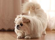 优雅温顺的京巴犬图片