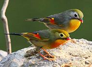 红嘴相思鸟图片可爱鸟类摄影