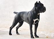 黑色成年卡斯羅犬圖片
