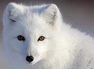 漫步雪地的北极白狐狸图片