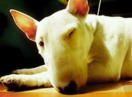 呆萌俏皮的迷你牛頭梗犬圖片