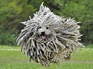 外貌搞笑酷炫的可蒙犬图片