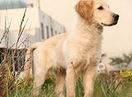 金毛寻回犬10个月户外高清图片