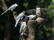小灰喜鹊图片鸟类高清特写