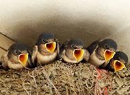 春天小燕子鸟类图片