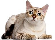 埃及貓動作可愛乖巧圖片
