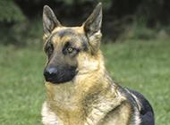 最漂亮的德国牧羊犬霸气十足