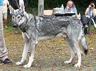 捷克狼犬帅气户外个性特写图片