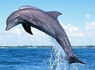 跃出海面欢快洒脱的海豚