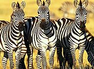 野生非洲斑馬高清圖片欣賞