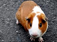 胆小易惊的荷兰猪豚鼠图片
