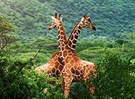 長頸鹿圖片大全可愛浪漫