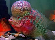 彩虹罗汉鱼头部丰满图片