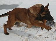 在雪地奔跑的比利时马犬图片