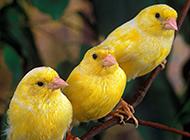 高貴籠養觀賞鳥金絲雀鳥圖片