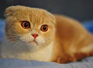 蘇格蘭折耳貓圖片表情呆萌可愛