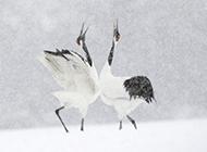 丹顶鹤鸟类图片特写