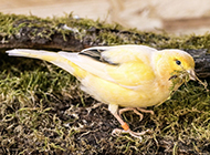 白金丝雀姿态优美图片