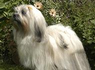 拉薩犬圖片可愛造型迷人優雅
