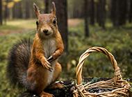 森林里可爱的松鼠图片