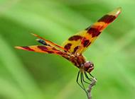 夏天美丽的蜻蜓高清图片