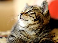 中國貍花貓可愛側顏圖片