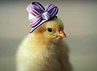 萌動物幼崽可愛小雞背景圖片
