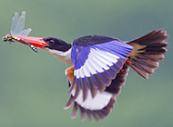荊棘鳥空中飛翔的圖片