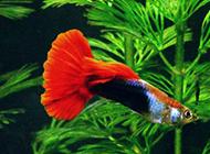 巴西紅扇孔雀魚圖片美美噠