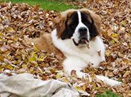 成年圣伯納犬秋天樹林寫真圖片