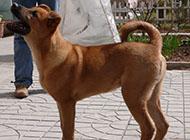 中華田園犬兇猛幼犬圖片大全