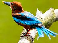 奇特鳥類荊棘鳥的圖片