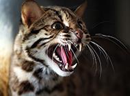 凶猛的野生豹猫图片大全