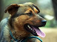 德國狼犬近距離表情特寫圖片