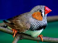 七彩珍珠鸟羽翼丰满图片
