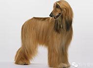 阿富汗猎犬高贵气质图片