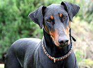 最漂亮的杜宾犬高清壁纸图片