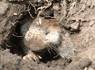 草原鼢鼠挖地洞图片