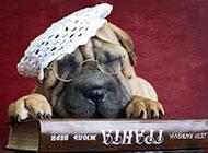 可愛寵物狗品種沙皮狗圖片壁紙
