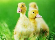 可爱呆萌的小鸭子图片素材