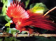 真正的天堂鳥優美姿態圖片