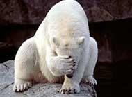 网友提供实拍北极熊图片